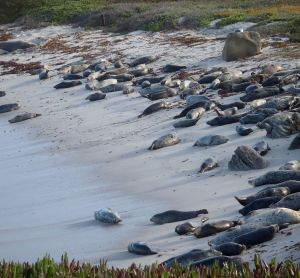 Can you find the elephant seal among the harbor seals?