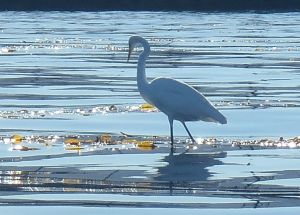 Great Egret by C. Parsons