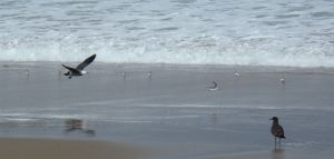Adult Gull Chases Sanderling by Chris Parsons