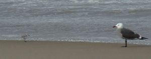 Gull-Sanderling Standoff by Chris Parsons