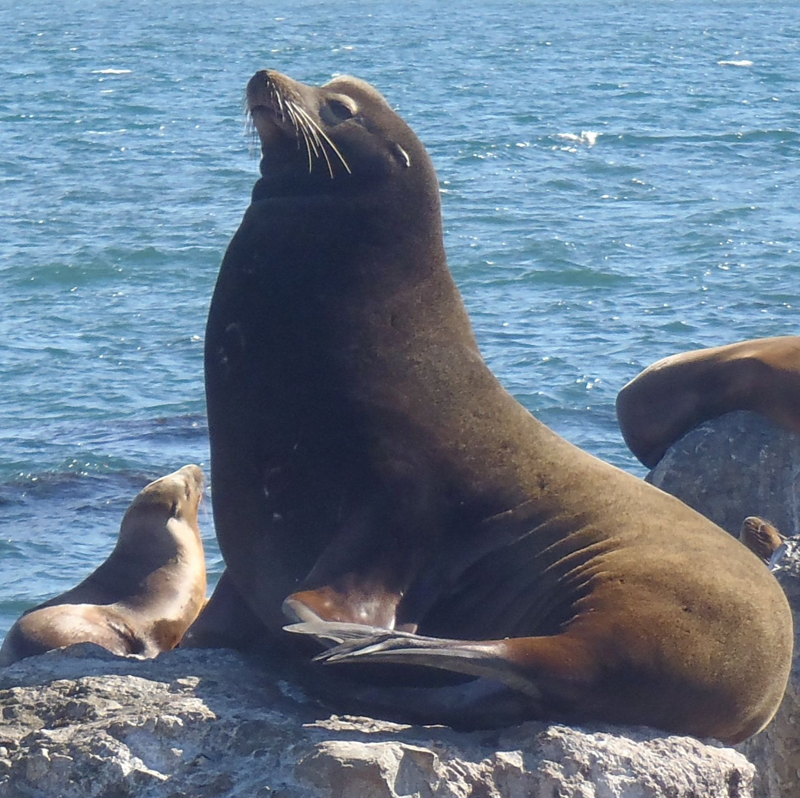 California Sea Lion - Carninvora (Pinnipedia)