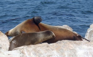 Mom+Pup Sea Lion by CMaParsons