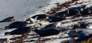 Pregnant Harbor Seals by Chris Parsons