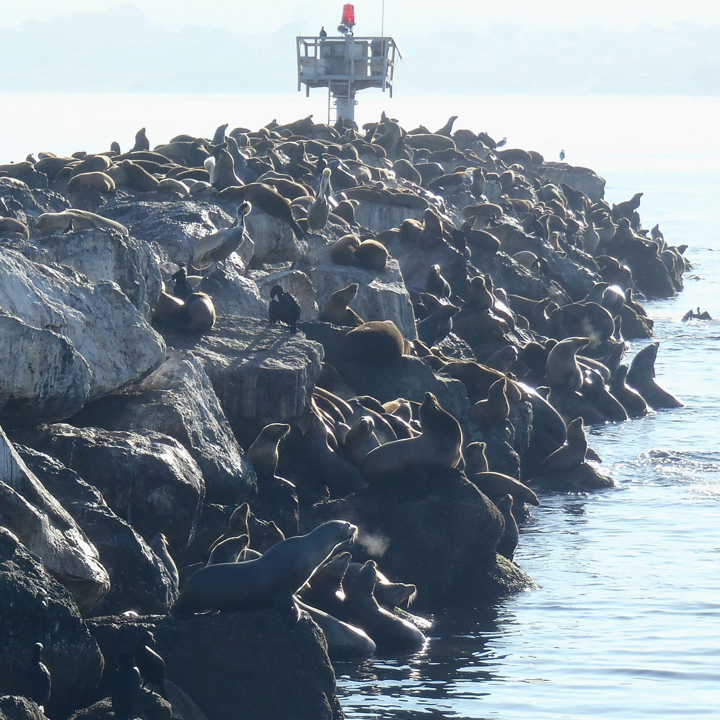 California sea lions | Bay-to-Beach Life