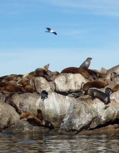 Sea Lions on Bkwtr5 by Chris Parsons