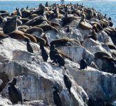 SeaLions+Cormorants2.25 by Chris Parsons