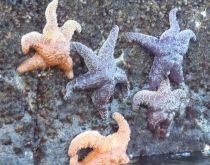 Sea stars on seawall by Chris Parsons
