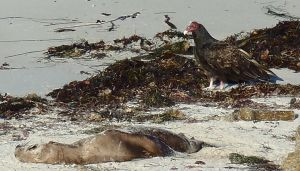 TurkeyVulture&Meal by Chris Parsons
