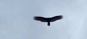 VultureinFlight2 by Chris Parsons