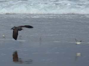Young Gull Chases Sanderling by Chris Parsons