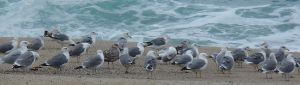 Gull Group Carmel by Chris Parsons