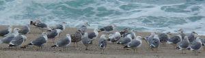 Gull Group Carmel by Chris Parsons