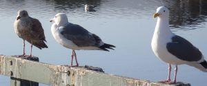 Gulls 3 at Roberts Lake by Chris Parsons