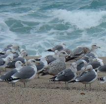 Gulls at Carmel River Lagoon by Chris Parsons