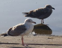Immature Gulls by Chris Parsons