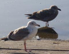 Immature Gulls by Chris Parsons