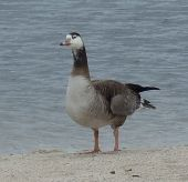 Mystery Goose by Chris Parsons