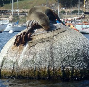 Sea Lion on Mooring by Chris Parsons