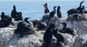 BCormorants on Nests by C. Parsons