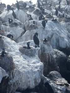 Cormorants on May nests by CM Parsons