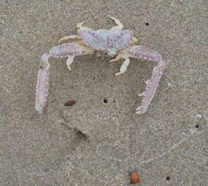 Elbow crab+ladybug by C. Parsons