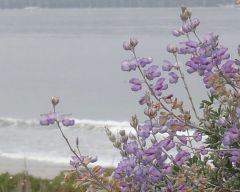 Blue bush lupine Lupinus chamissonis