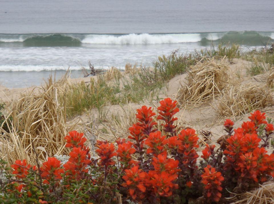 Monterey paintbrushCastilleja latifolia