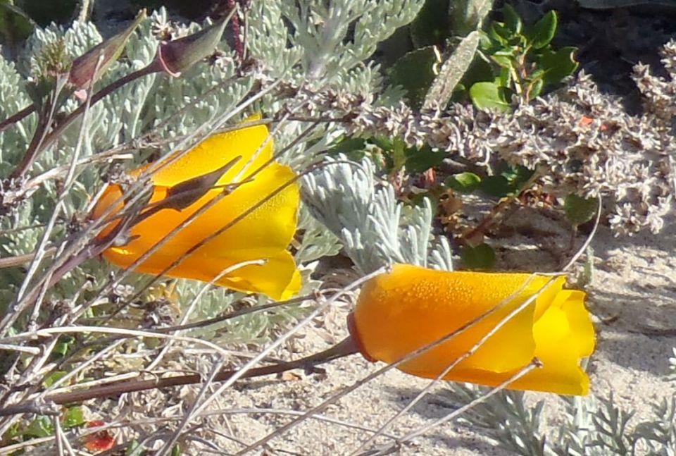 California poppyEschscholzia californica