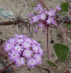 Pink sand verbenaAbronia umbellata