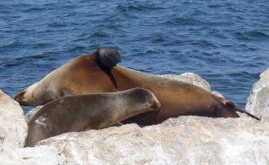Sea lion pup nursing by C. Parsons