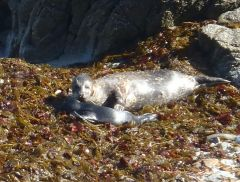 Seal mom & new pup by C. Parsons