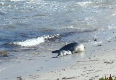 Seal w swimming pup by C. Parsons