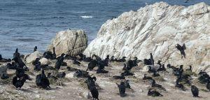 Cormorants Point Lobos by CM. Parsons