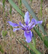 Iris Point Lobos by C. Parsons