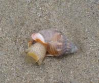 Nassa Snail4 by CM Parsons