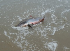 Beached Thresher Shark3 by CM Parsons