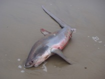 Beached Thresher Shark2 by CM Parsons