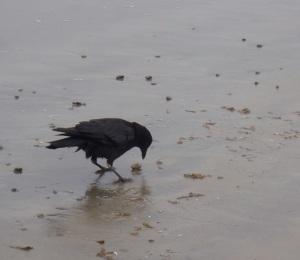 Crow acting like shorebird