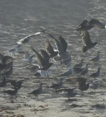 Gulls - Marina State Beach by CM Parsons