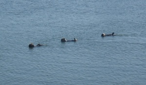 Sea otters at Moss Landing by CM Parsons