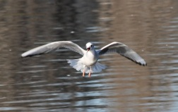 Bonaparte'sGull w:fish by CM Parsons