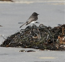 Black Phoebe on Kelp by CM Parsons
