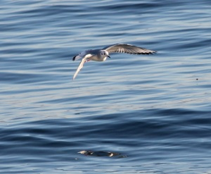 Bonaparte's Gull at Beach by CM Parsons