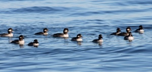 Female buffleheads by CM Parsons