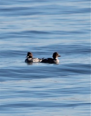 CommonGoldeneye2 by CM Parsons