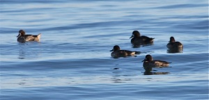 Greater Scaup Group by CM Parsons