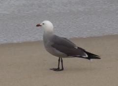 Adult Heermann's Gull by CM Parsons