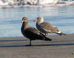 Juvenile Heermann's Gulls by CM Parsons