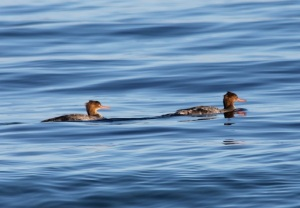 Red-breasted Mergansers2 by CM Parsons