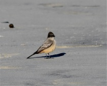 Say's Phoebe by CM Parsons